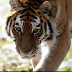 A zoo worker mauled by a tiger at South Lakes Wild Animal Park in Cumbria has died