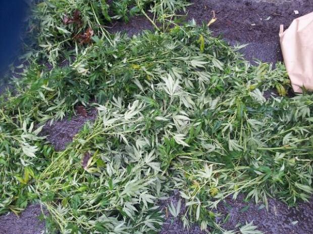 Some of the cannabis found in the ditch