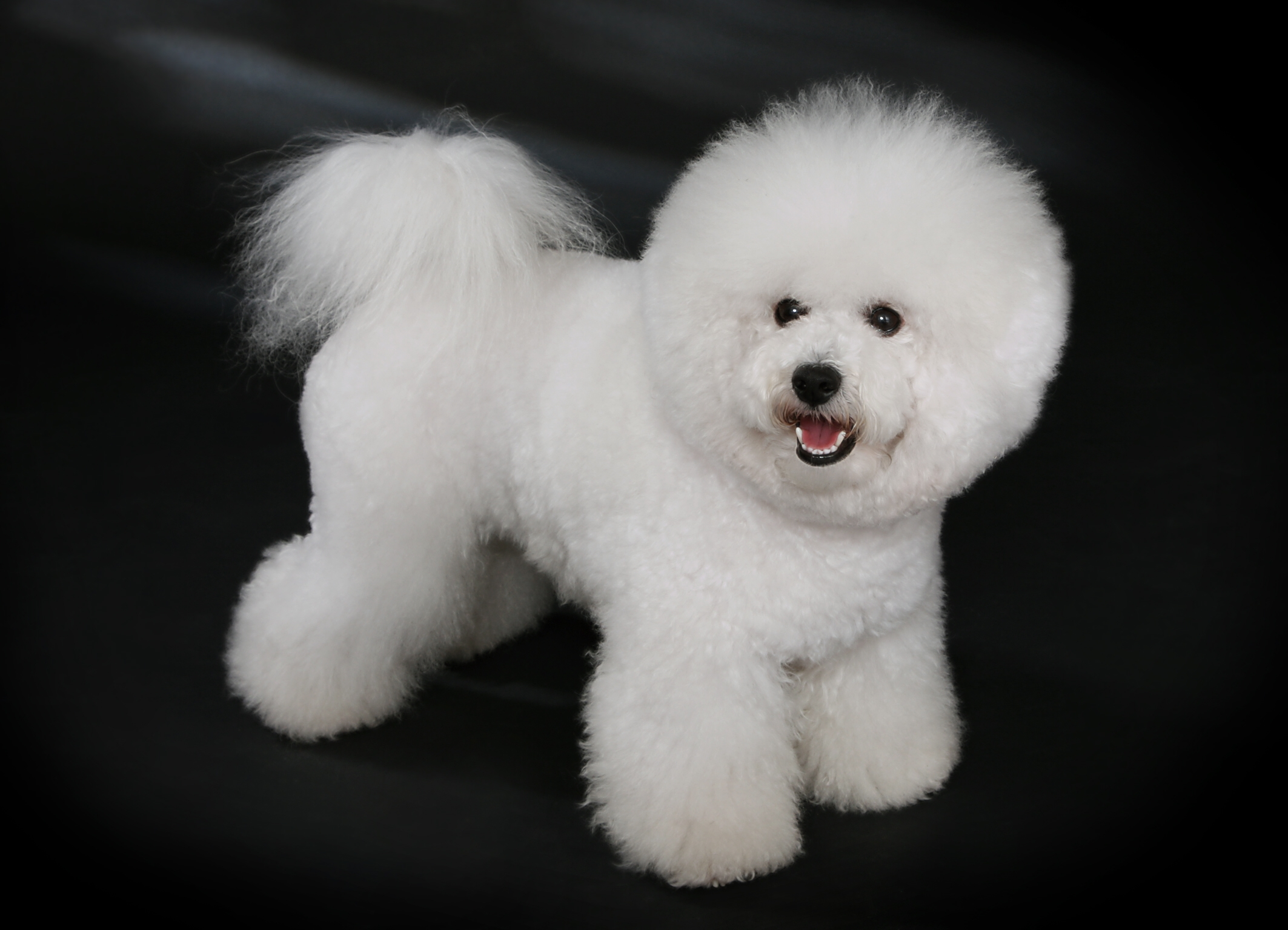 A Bichon Frise, similar to the one attacked in Brentwood