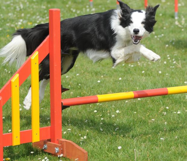 Brentwood Weekly News: Dog events are popular at country shows