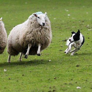 A study found rounding up sheep successfully is a deceptively simple process involving just two basic mathematical rules