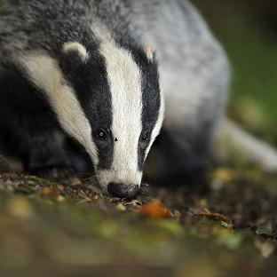 The Badger Trust sought a court ruling to block a new cull in Gloucestershire and Somerset without an independent exper